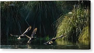 Canvas Print - Flying Ducks by Dawn OConnor