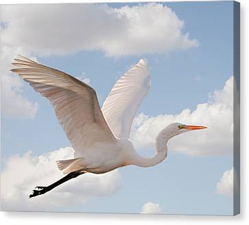 South Carolina State Bird Canvas Print - Flying Egret by Joe Granita