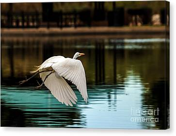 Flying Egret Canvas Print by Robert Bales
