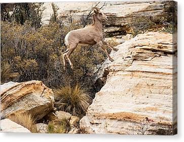 Flying Ewe Canvas Print by James Marvin Phelps