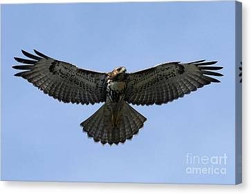 Flying Free - Red-tailed Hawk Canvas Print by Meg Rousher