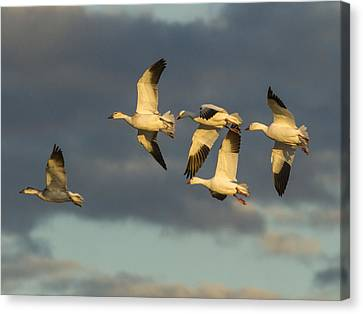 Geese Canvas Print - Flying Geese by Jean Noren