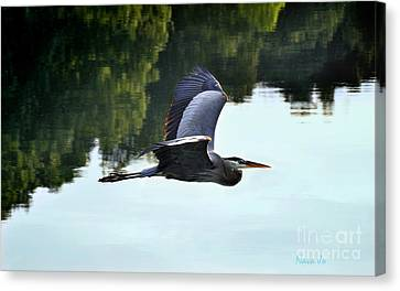 Flying Great Blue Heron Canvas Print by Nava Thompson