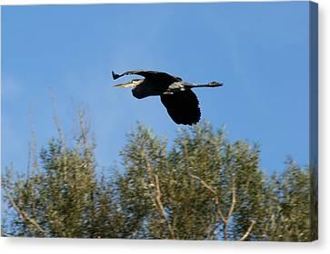Flying Heron  Canvas Print by Neal Eslinger