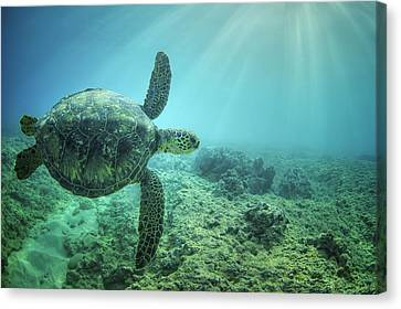 Flying Honu Canvas Print by Hawaii  Fine Art Photography