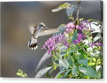 Flying In For A Morning Meal Canvas Print