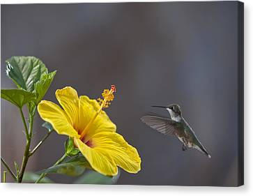 Flying In For A Quick Meal Canvas Print by Robert Camp