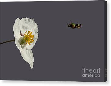 Flying In For Breakfast Canvas Print