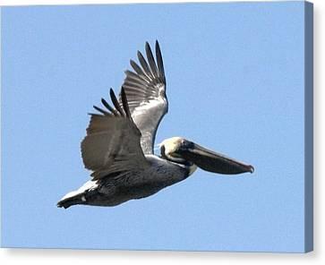 Flying Pelican Canvas Print