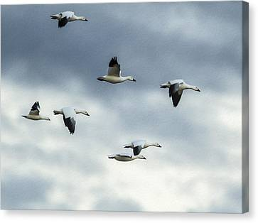 Flying Snow Geese Canvas Print by Jean Noren