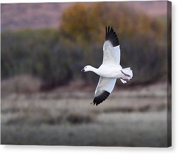 Flying Snow Goose Canvas Print by Jean Noren