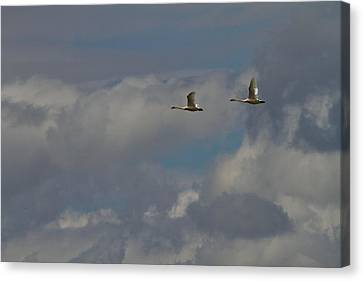 Flying Swans Through The Storm Canvas Print by Dan Sproul