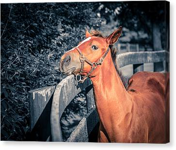 Foal By The Fence Canvas Print