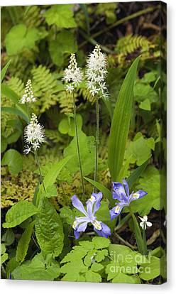 Foamflower And Crested Dwarf Iris - D008428 Canvas Print by Daniel Dempster