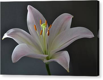 Focus On Lily. Canvas Print by Terence Davis