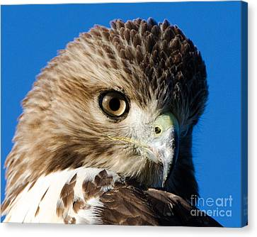 Hawk Eye Canvas Print by Stephen Flint