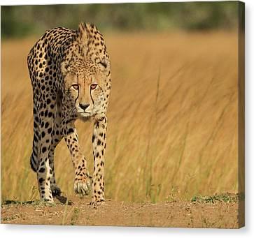 Cheetah Canvas Print - Focused Intensity by Jaco Marx