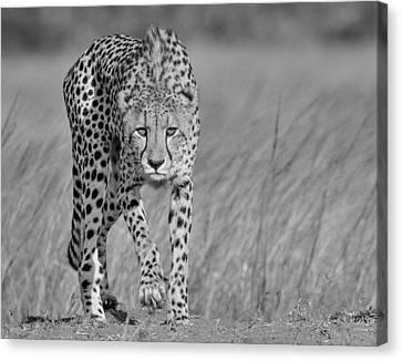 Focused Predator Canvas Print
