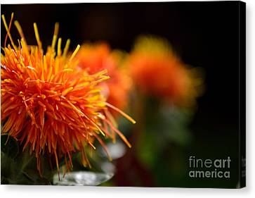 Focused Safflower Canvas Print