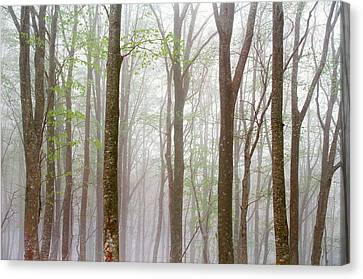 Foggy Trees In Forest Canvas Print by Panoramic Images