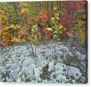 Foliage And Lichen Killarney Provincial Canvas Print by Tim Fitzharris