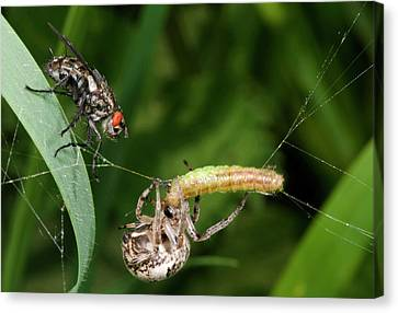 Foliate Spider With Prey And Flesh Fly Canvas Print
