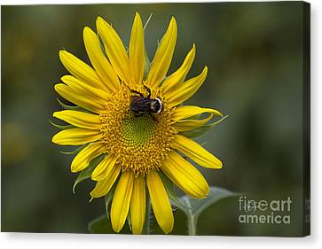 For The Love Of Pollen Canvas Print by Cris Hayes