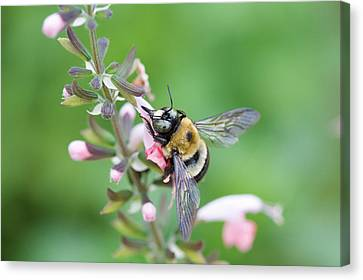 Foraging For Nectar Canvas Print
