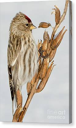 Foraging Redpoll Canvas Print by Stephen Flint