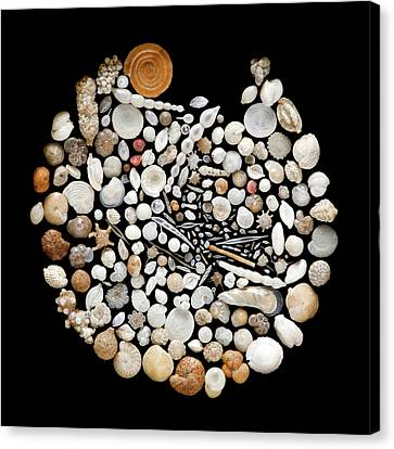 Foraminifera From Lagoon Of Venice Canvas Print by Natural History Museum, London