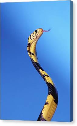 Yellow Cobra Canvas Print - Forest Cobra Naja Melanoleuca by Thomas Kitchin & Victoria Hurst