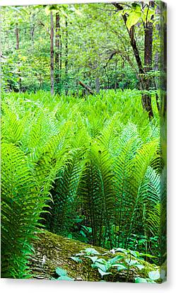 Canvas Print featuring the photograph Forest Ferns   by Lars Lentz