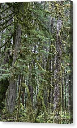 Forest Green  Canvas Print by Tim Rice