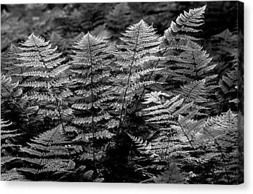 Canvas Print featuring the  Forest Of Ferns by Haren Images- Kriss Haren