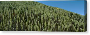 Forest Of Pine Trees, Colorado Canvas Print by Panoramic Images