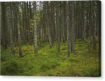 Forest Canvas Print by Rhys Templar