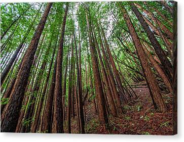 Forest Scene In Muir Woods State Park Canvas Print by James White