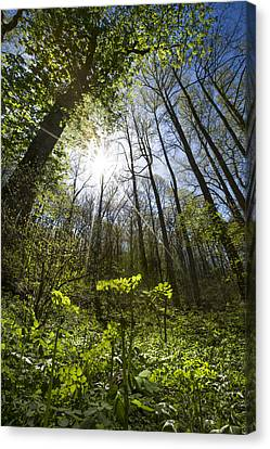 Forest Star Canvas Print by Debra and Dave Vanderlaan