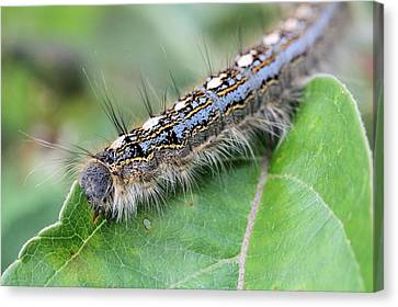Forest Tent Caterpillar Canvas Print