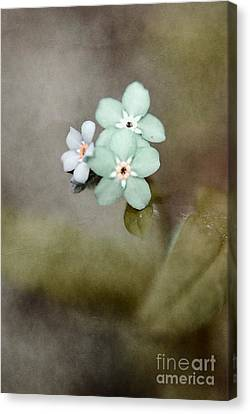 Forget Me Not 03 - S07bt07 Canvas Print by Variance Collections