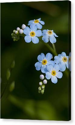 Forget-me-not Cascade Canvas Print