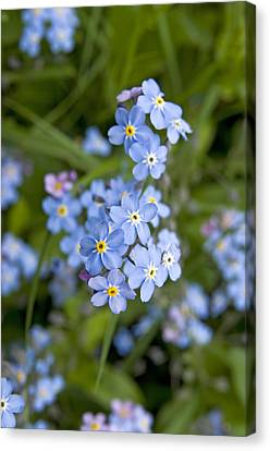 Forget Me Not Flowers Canvas Print by David Davies