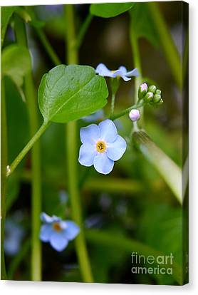 Forget Me Not Canvas Print by John Chatterley