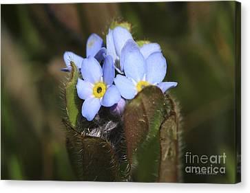 Forget Me Nots Springtime Canvas Print by Deborah Benoit