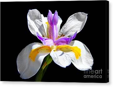 Fortnight Lily Canvas Print by Mariola Bitner