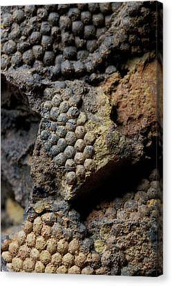 Fossil Algae Canvas Print by Sinclair Stammers