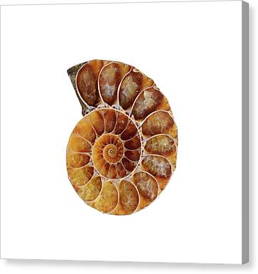 Fossil Ammonite Canvas Print by Cordelia Molloy
