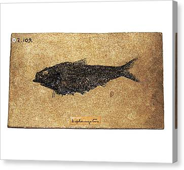 Fossil Fish Canvas Print by Ucl, Grant Museum Of Zoology
