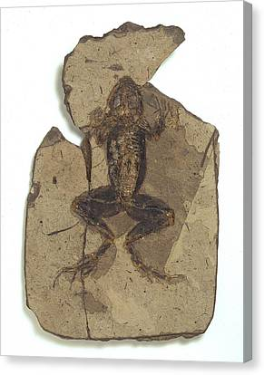 Fossil Frog Canvas Print by Science Photo Library