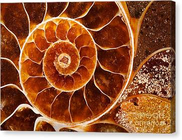 Fossil Nautilus Canvas Print by Alice Cahill